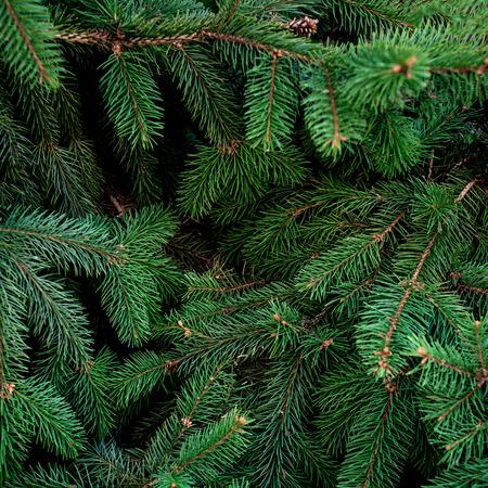 Photo pour Christmas  Fir tree brunch textured Background. Fluffy pine tree brunch close up. Green spruce - image libre de droit