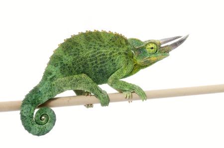 Photo pour Jackson's Chameleon (Chamaeleo jacksonii) - image libre de droit