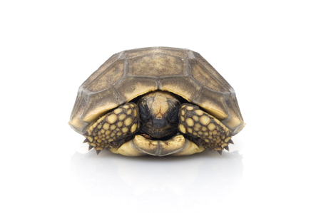 Photo for A young Yellowfoot Tortoise (Geochelone denticulata) - Royalty Free Image