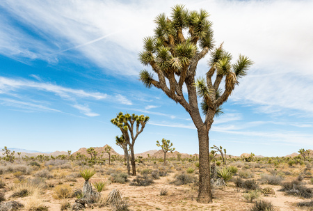 Foto de Joshua trees (Yucca brevifolia) along Boy Scout Trail in Joshua Tree National Park, California - Imagen libre de derechos