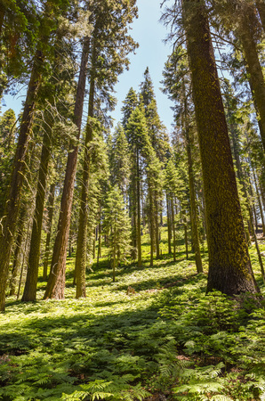 Foto de Fern covered forest along Crescent Meadow Loop in Sequoia National Park, California - Imagen libre de derechos