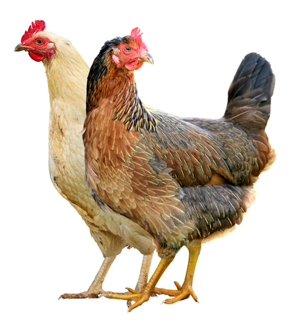 Photo pour Two Chickens Isolated on a White Background. - image libre de droit