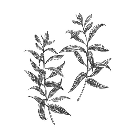 Ilustración de Beautiful vector hand drawn lemon verbena tea herb Illustration. Detailed retro style images. Vintage sketch element for labels, packaging and cards design. - Imagen libre de derechos
