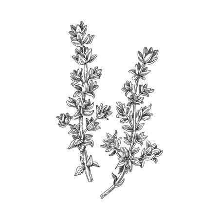 Ilustración de Beautiful vector hand drawn thyme tea herb illustration. - Imagen libre de derechos