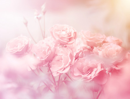 Photo for Pink roses in soft color, Made with blur style for background - Royalty Free Image