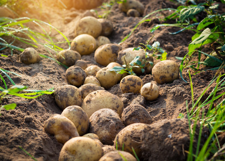 Photo pour Fresh organic potatoes in the field - image libre de droit