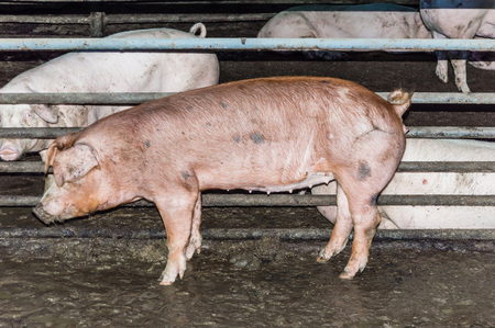 One red pig standing in a hogpen in the Pigsty and several pigs behind. One red pig standing in a hogpen in the Sheepfold. Cattle pen.