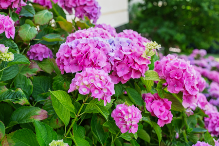 Photo for Hydrangea is pink, blue, lilac, violet, purple, white flowers are blooming in spring and summer in town garden. - Royalty Free Image