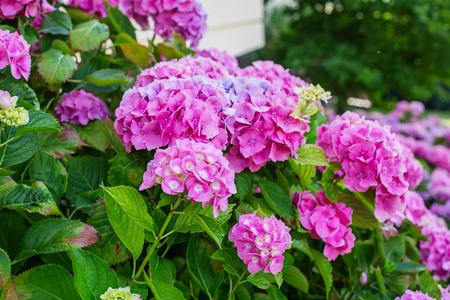 Foto de Hydrangea is pink, blue, lilac, violet, purple, white flowers are blooming in spring and summer in town garden. - Imagen libre de derechos