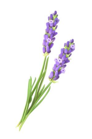 Illustration pour Lavender flowers, vector illustration - image libre de droit