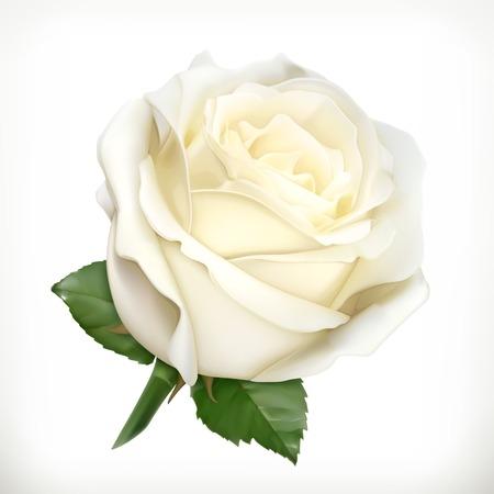 Illustration pour White rose, vector illustration - image libre de droit
