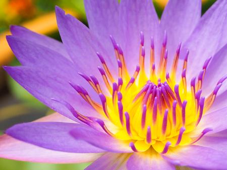 Photo pour Violet Lotus Flower Closeup - image libre de droit