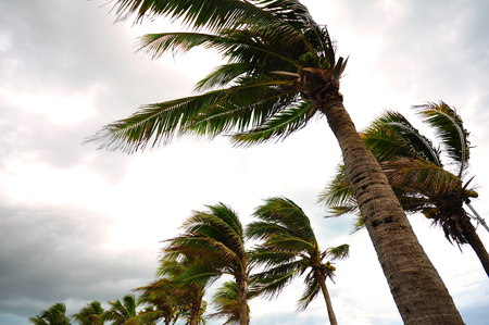 Photo for Palm tree at the hurricane, Blur leaf cause windy and heavy rain - Royalty Free Image
