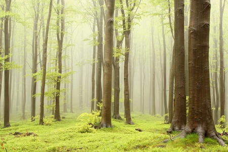 Misty spring beech forest. Photo taken in the mountains of Central Europe mural