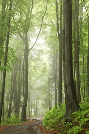 Foto de Trail among the beech trees in misty spring forest - Imagen libre de derechos