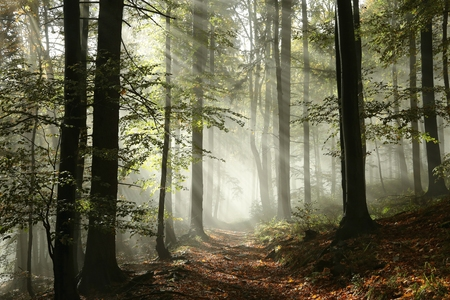 Photo for Forest path surrounded by fog in the sunshine - Royalty Free Image