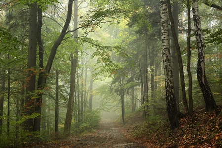 Photo for Path through the beech forest in foggy weather - Royalty Free Image