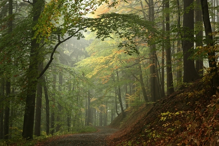 Photo for Early autumn beech forest in the fog - Royalty Free Image