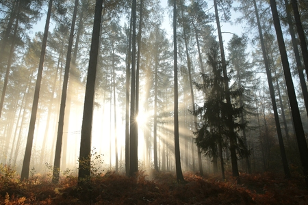 Photo for Sunbeams fall into the autumn coniferous forest - Royalty Free Image