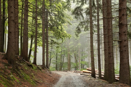 Photo pour Path along the spruce trees in misty weather - image libre de droit