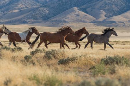 Photo pour Wild Horses (mustangs) - image libre de droit