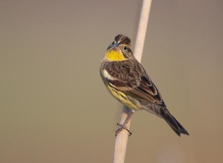 Foto de Emberiza aureola (Yellow-breasted Bunting) - IUCN Red List - Imagen libre de derechos