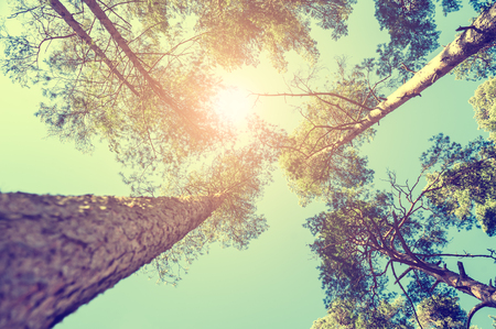 Foto de Pine forest at sunny day. Beautiful summer landscape. Vintage effect - Imagen libre de derechos