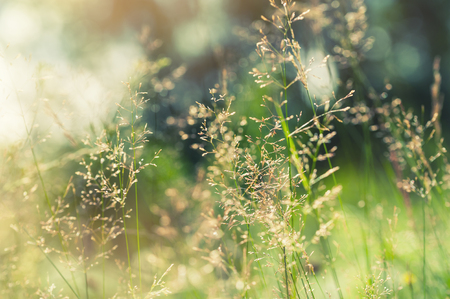 Foto de Green grass in the field with sunbeams. Blurred summer background, selective focus. - Imagen libre de derechos