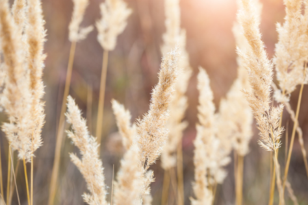 Photo pour Forest meadow with wild grasses at sunset. Macro image with small depth of field. - image libre de droit