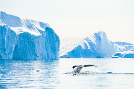 Photo for Humpback whale dives showing the tail near the icebergs in Ilulissat icefjord, Greenland - Royalty Free Image