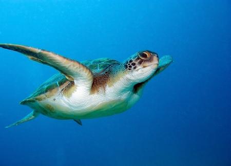 Photo for Loggerhead sea turtle, Caretta caretta, in Tenerife, Spain - Royalty Free Image