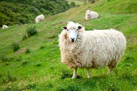 Foto de Sheep at a pasture in New Zealand - Imagen libre de derechos
