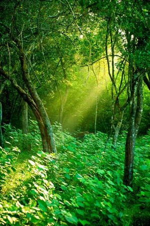 Photo for Sunlight rays pour through leaves in a rainforest at Sri Lanka - Royalty Free Image