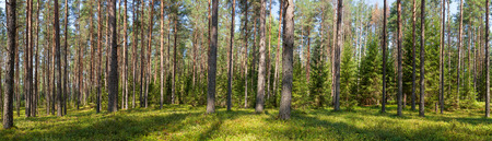 Photo pour Panoramic view of fir forest on a summer day - image libre de droit