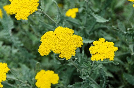 Photo pour Yellow yarrow flowers, green field bush plant, Achillea millefolium (Coada Soricelului) close up. - image libre de droit