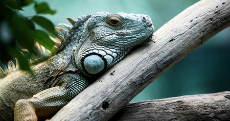 Photo pour Closeup of beautiful green Iguana on branch - image libre de droit
