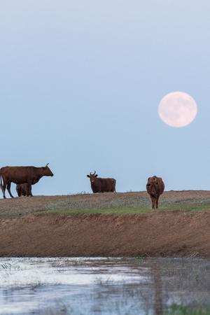 Foto de Cows at the bottom of a rising full moon. Kalmykia region, Russia. - Imagen libre de derechos
