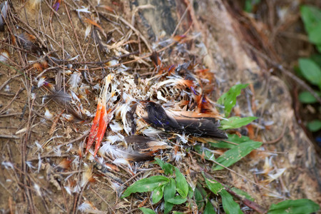 Photo for Feathers and carcasses of black-backed Kingfisher bird dead on the grass in the garden - Royalty Free Image