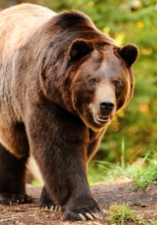 Photo pour Giant alaskan brown (grizzly) bear walking towards the camera with aggressive stare - image libre de droit