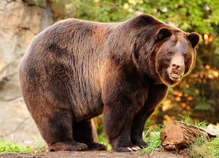 Photo pour An enornous Alaskan brown bear (grizzly) staring at the camera with killer looks - image libre de droit