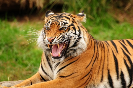 Gorgeous Sumatran tiger threatening its opponent by roaring