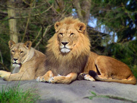 Majestic African Lion and Lioness pair resting over rock