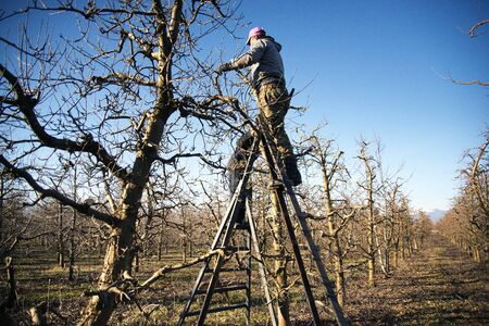 Photo pour RESEN, MACEDONIA. JANUARY 27 , 2018- Farmer pruning apple tree in orchard in Resen, Prespa, Macedonia. Prespa is well known region in Macedonia on producing high quality apples. - image libre de droit