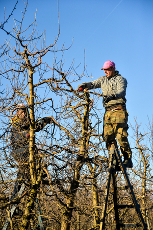 Photo pour RESEN, MACEDONIA. JANUARY 27, 2018- Farmer pruning apple tree in orchard in Resen, Prespa, Macedonia. Prespa is well known region in Macedonia on producing high quality apples. - image libre de droit