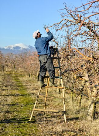 Photo pour RESEN, MACEDONIA. JANUARY 28, 2018- Farmer pruning apple tree in orchard in Resen, Prespa, Macedonia. Prespa is well known region in Macedonia on producing high quality apples. - image libre de droit