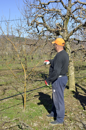 Photo pour RESEN, MACEDONIA. MARCH 10, 2018- Farmer pruning apple tree in orchard in Resen, Prespa, Macedonia. Prespa is well known region in Macedonia on producing high quality apples.image - image libre de droit