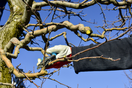 Photo pour unrecognizable man pruning apple trees in an orchard in march,image - image libre de droit