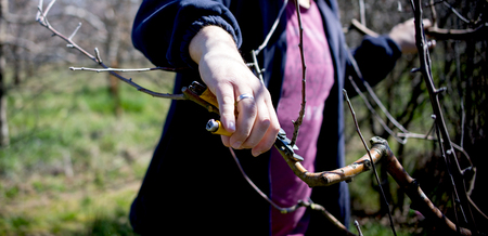 Photo pour unrecognizable man pruning apple trees in an orchard in march, - image libre de droit