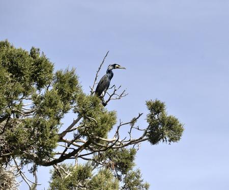 Photo pour cormorants birds on the trees on island golem grad, lake prespa, macedonia - image libre de droit