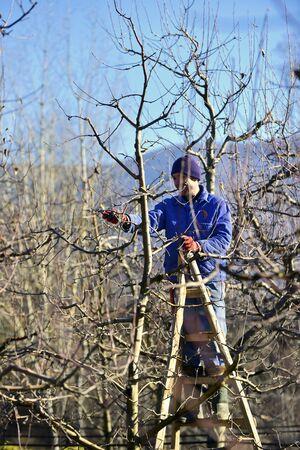 Photo pour farmer pruning apple tree in winter - image libre de droit